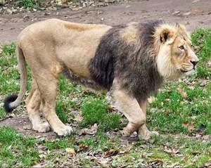 Как выглядит азиатский лев - самец