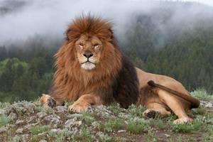 Лев на отдыхе - фото