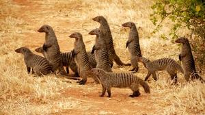 Популяция мангустов
