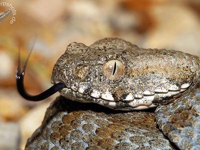Змея гюрза образ жизни, питание, размножение; яд гюрзы