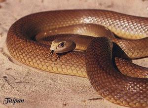 Самая ядовитая змея в мире Тайпан