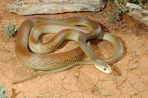 Змея Тайпан, описание прибрежного тайпана