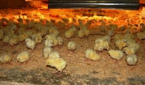 Чем кормят цыплят