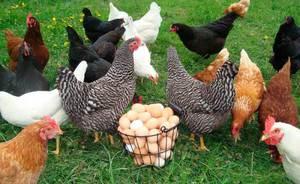 Что влияет на яйценоскость кур