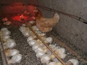 Как обогреть цыплят