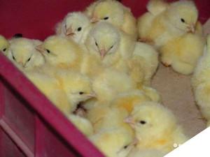 Как ухаживать за цыплятами