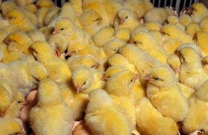 Выращивание цыплят в домашнем хозяйстве