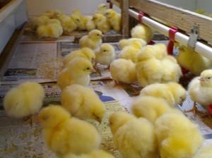 Как вырастить цыплят в домашних условиях