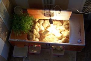 Температурный режим содержания цыплят