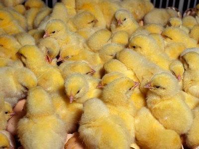 Выращивание цыплят в домашних условиях