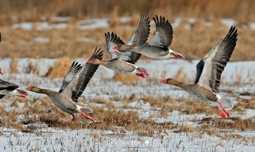 Охота весной, на гуся