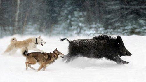 Лайка, использование собаки для охоты зимой