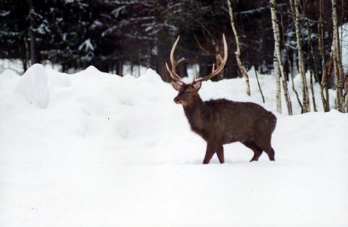 Охота на марала, зимой, с подхода