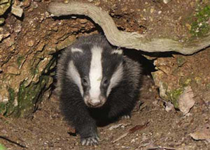 Hunting a badger in a hole