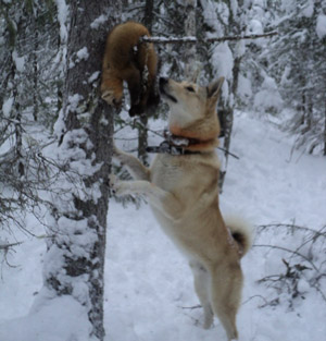 Sable hunting with dogs