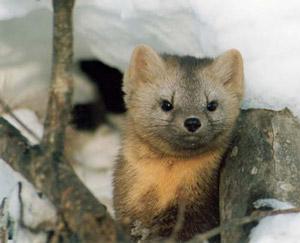 Охота на соболя, зимой