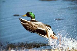 Охота на утку и селезня весной