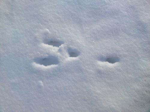 следы зайца русака на снегу