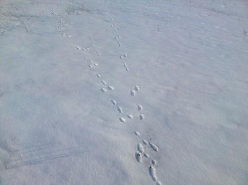 Как распутывать следы зайца, на снегу