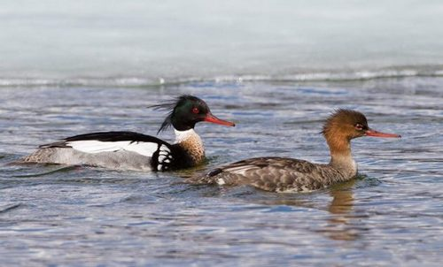 Big merganser