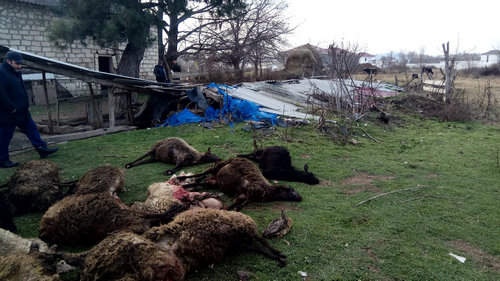 Волки, продолжают нападать, на грузинские села