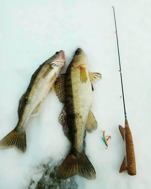 Как ловить судака зимой?