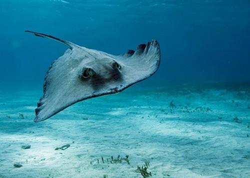Морской кот (хвостокол) (Dasyatis pastinaca)