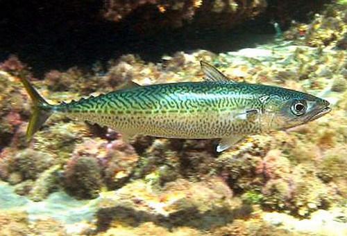 Скумбрия (макрель) (Scombridae)