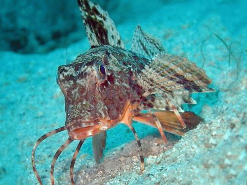 Морской петушок (Betta splendens)
