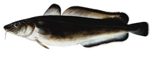 Мольва (морская щука)