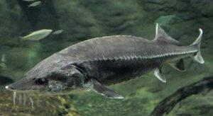 Рыба белуга под вадой