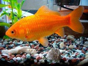 Карась золотая рыбка