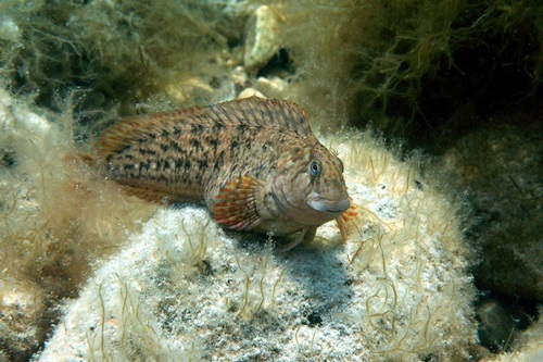 Морская собачка рыба (Parablennius sanguinolentus)