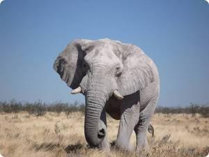 Саванный слон - ареал обитания