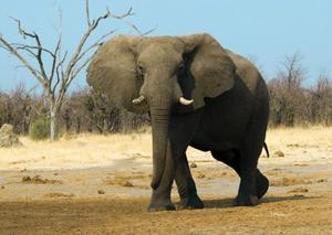 Африканский слон - редкие животные
