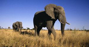 Африканский слон - описание