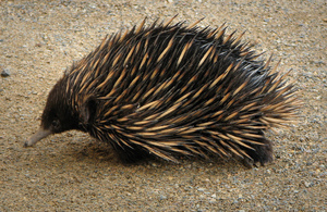Как выглядит австралийская ехидна