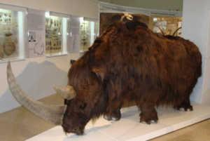 Шерстистый носорог-чучуло