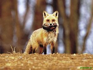 Рацион питания лисы