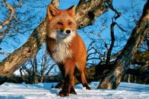 Чем питается лиса в разное время года