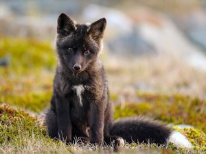 Поведение лисы в природе