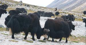 Дикий тибетский як описание