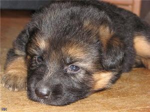 Маленький щенок немецкой овчарки