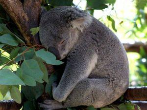 Места обитания коал