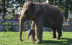 Вес крупного слона