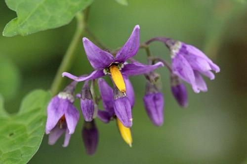 Фиолетовые (лиловые) цветки паслёна сладко-горького (лат. Solanum dulcamar) с жёлтой серединкой, похожие на цветы картофеля на лиановдином стебле в ивняке у реки