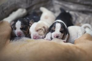 На какой день после рождения открываются глаза у щенков