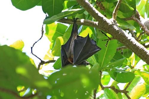 Малая летучая лисица (Pteropus hypomelanus) в кроне деревьев среди листьев на острове Ko Miang (острова Симилан, Таиланд)