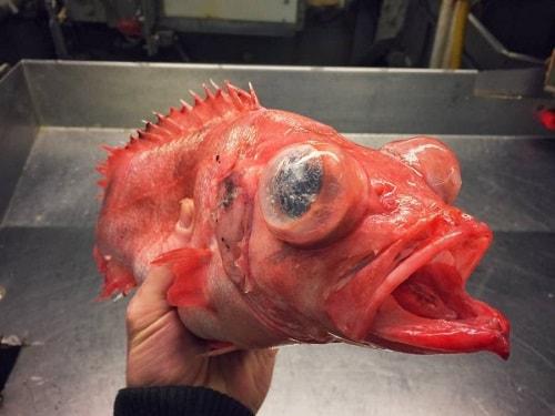 морской окунь клювач