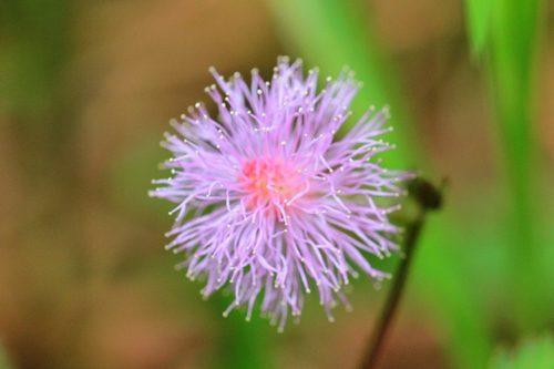 цветок мимозы стыдливой (лат. Mimosa pudica)